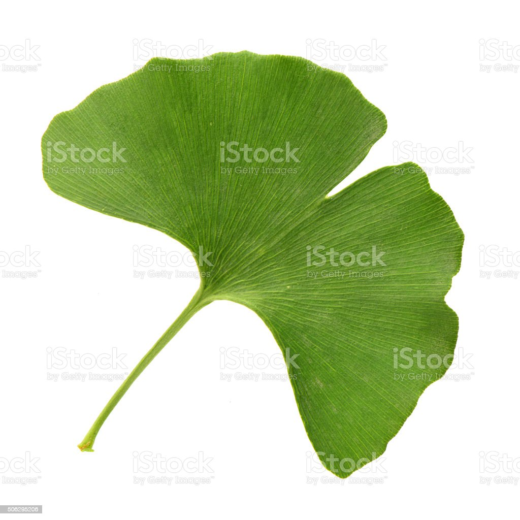 ginkgo leaves isolated stock photo