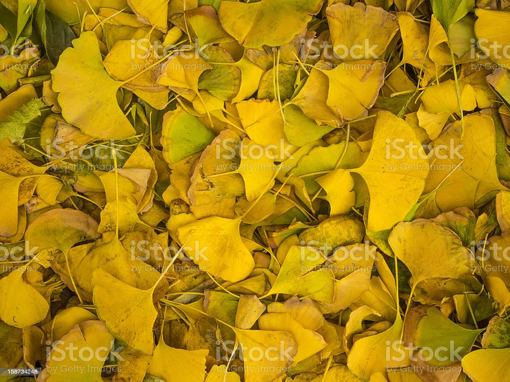 Ginkgo leaves royalty-free stock photo