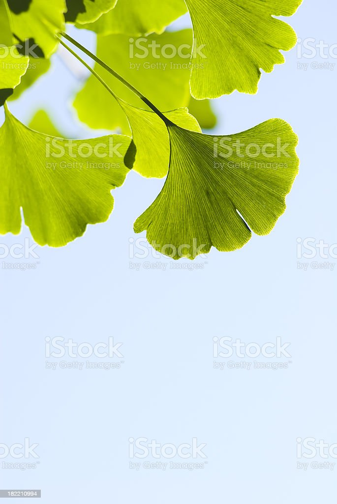 Ginkgo (Ginkgo biloba) leaves - V royalty-free stock photo