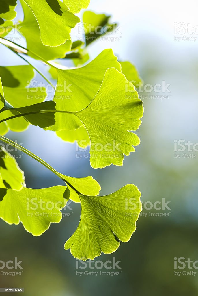 Ginkgo (Ginkgo biloba) leaves - VI royalty-free stock photo
