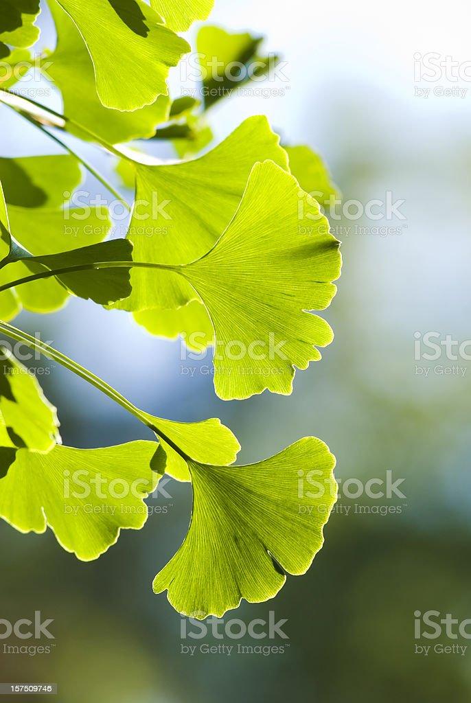 Ginkgo (Ginkgo biloba) leaves - VI stock photo