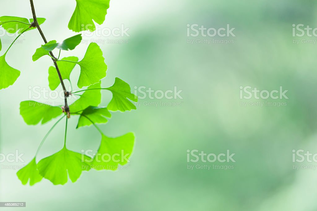 Ginkgo Leaves with copy space stock photo