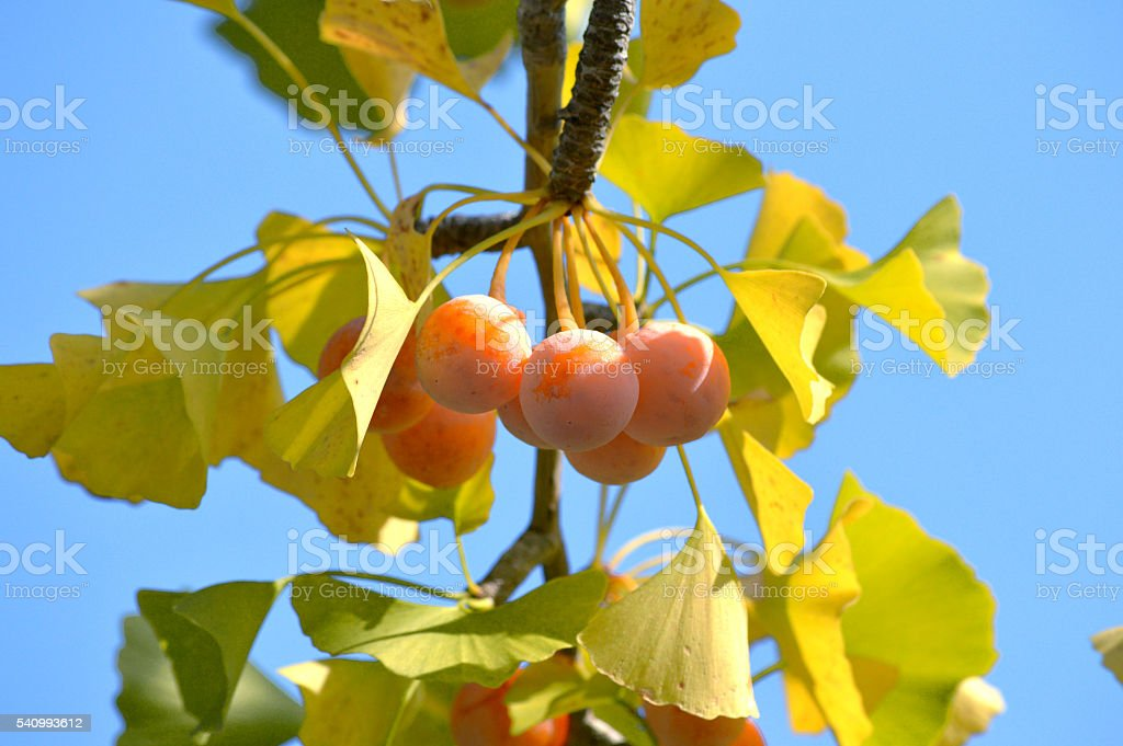 Ginkgo nuts stock photo