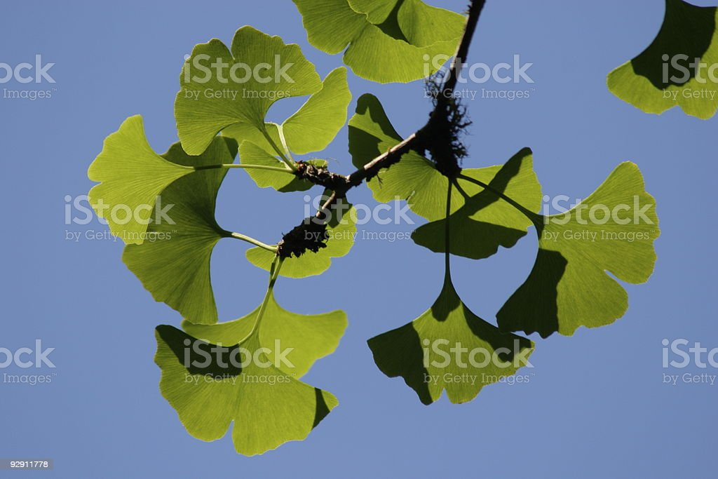 Ginkgo on Blue royalty-free stock photo