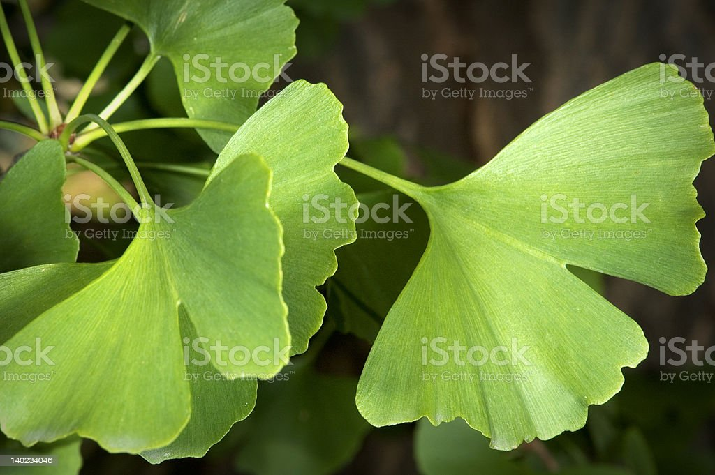 ginkgo stock photo
