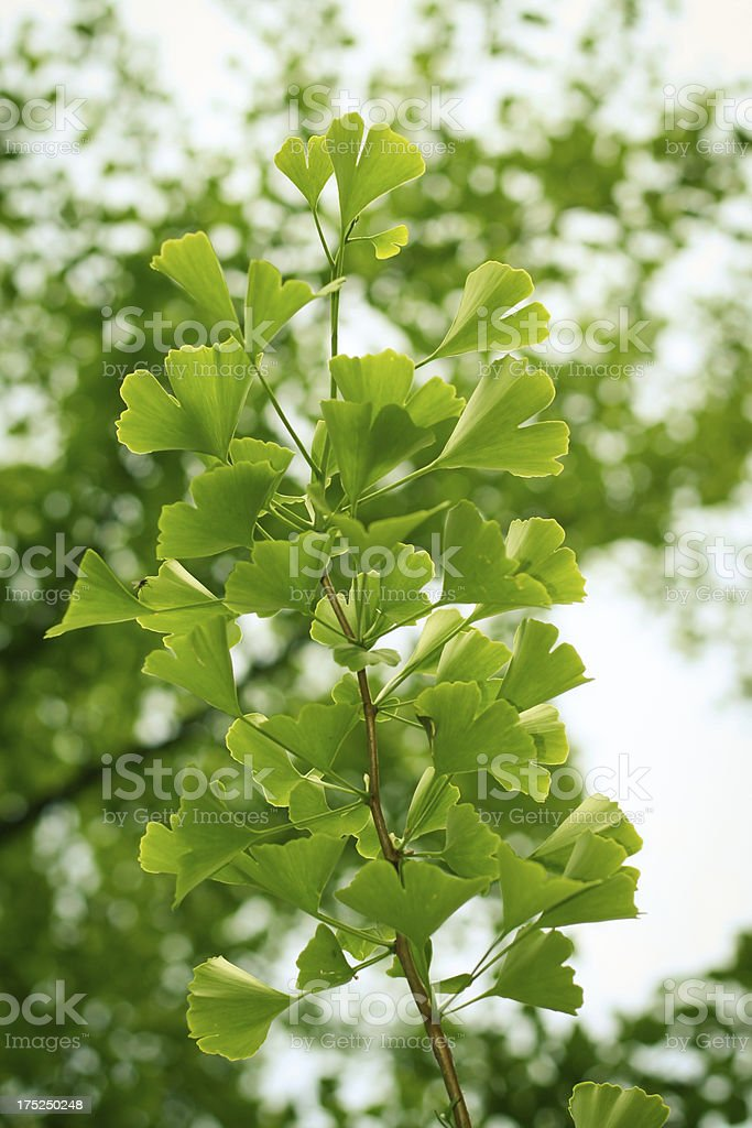 Ginkgo royalty-free stock photo