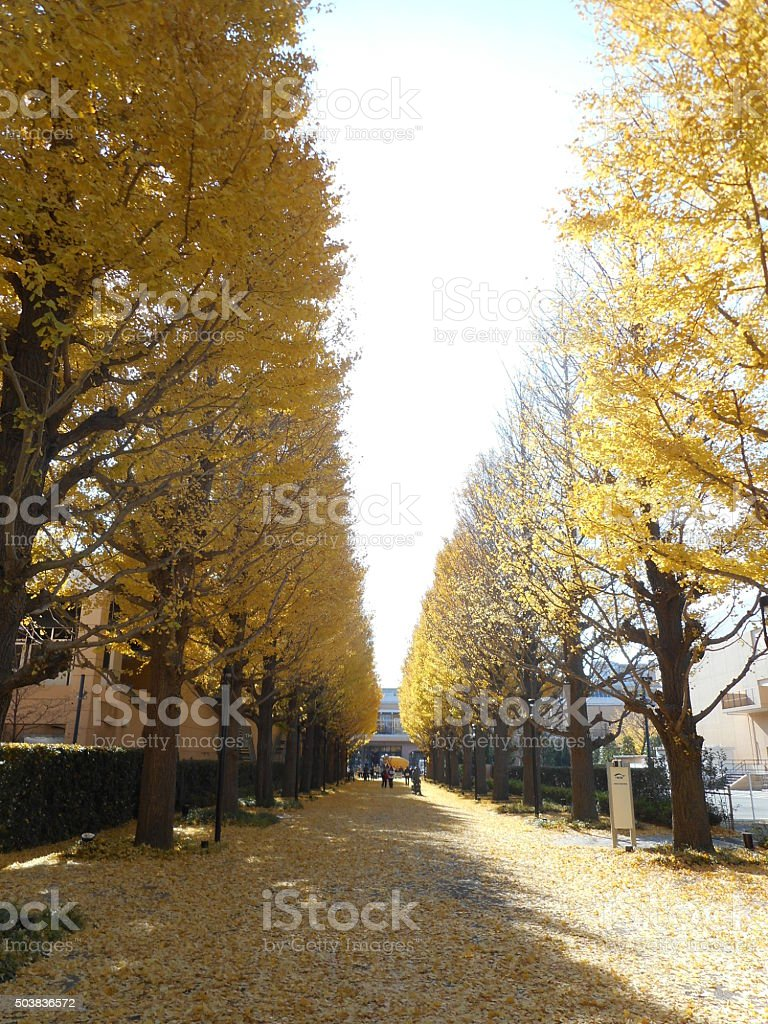 Ginkgo row of trees stock photo