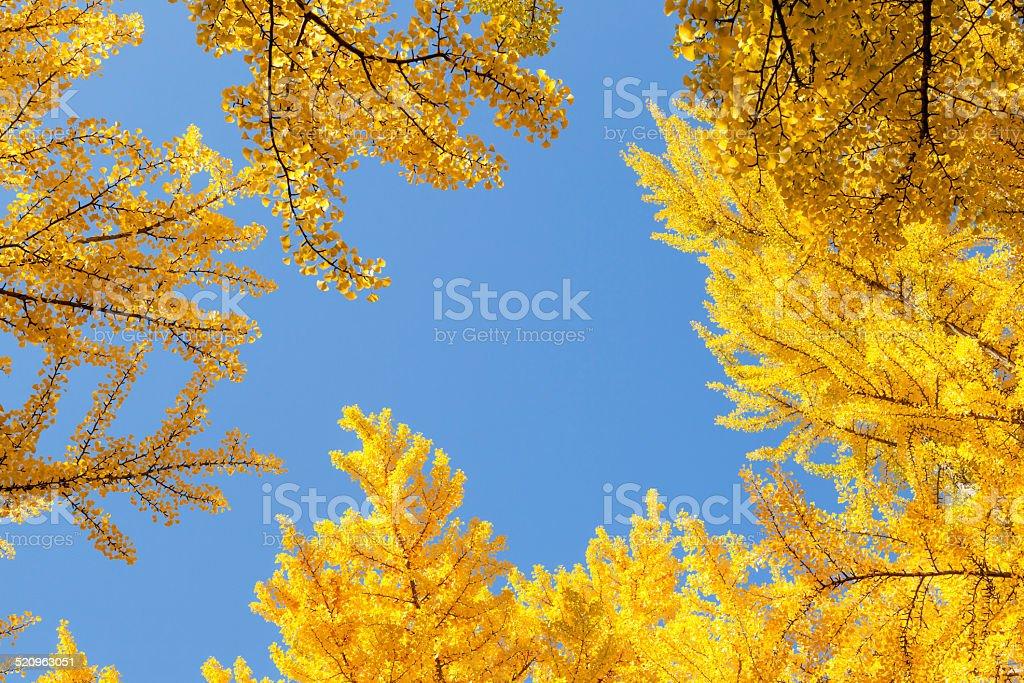 Ginkgo tree Autumn stock photo