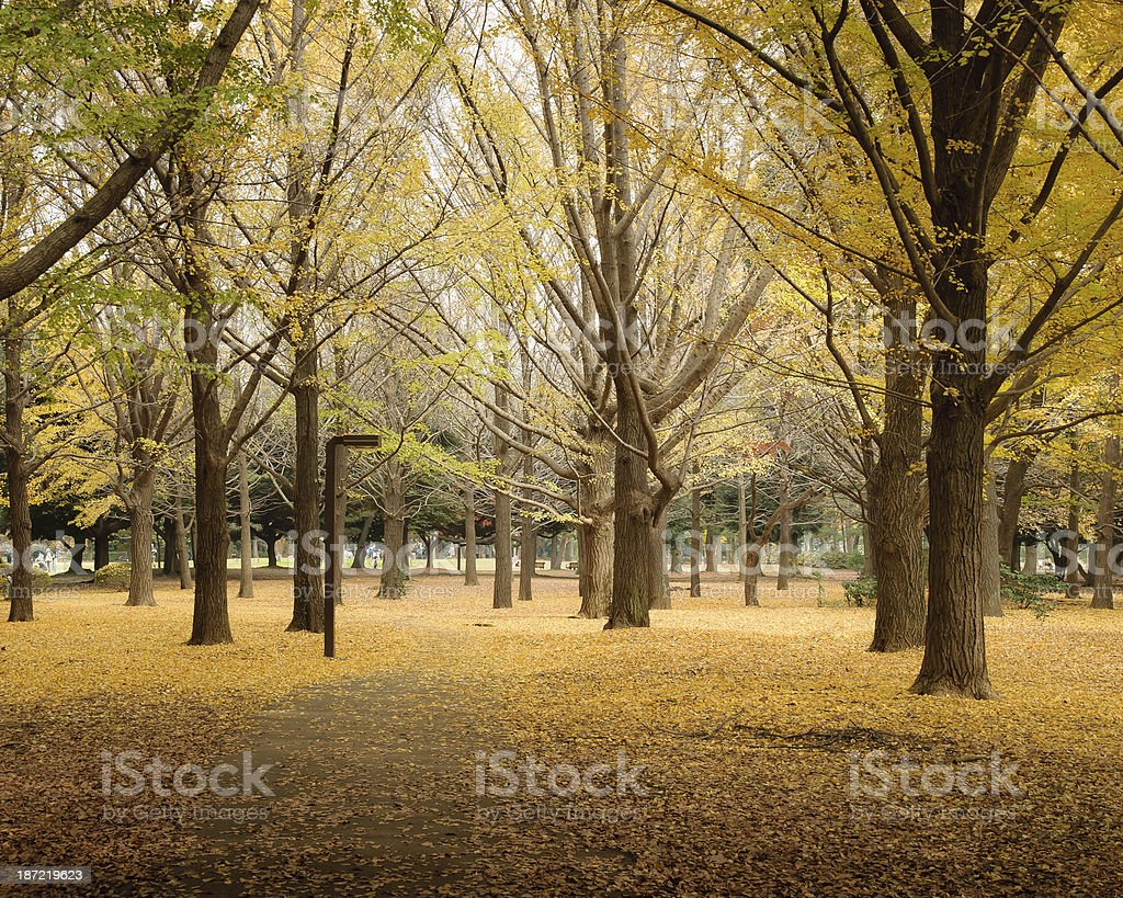 Ginkgo tree in Yoyogi Park royalty-free stock photo