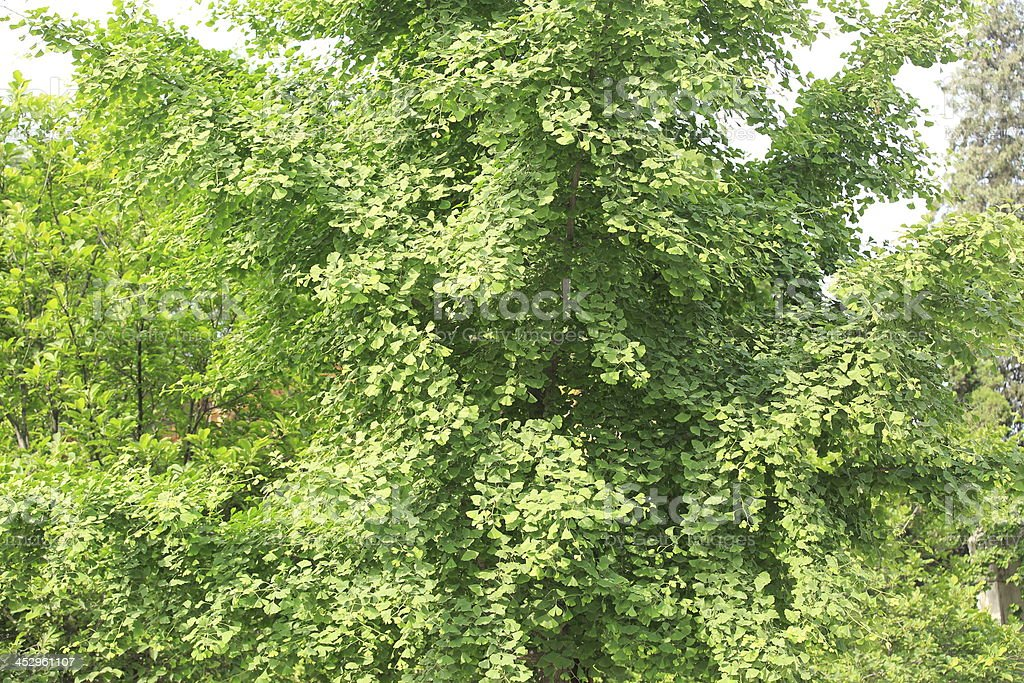 ginkgo tree leaf royalty-free stock photo