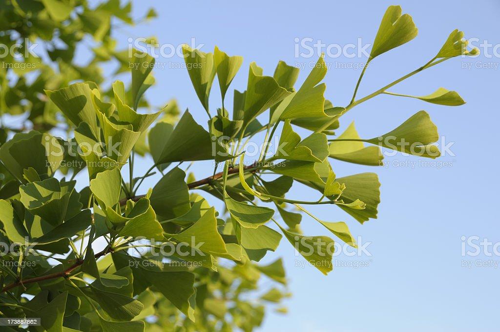 Ginkgo tree royalty-free stock photo