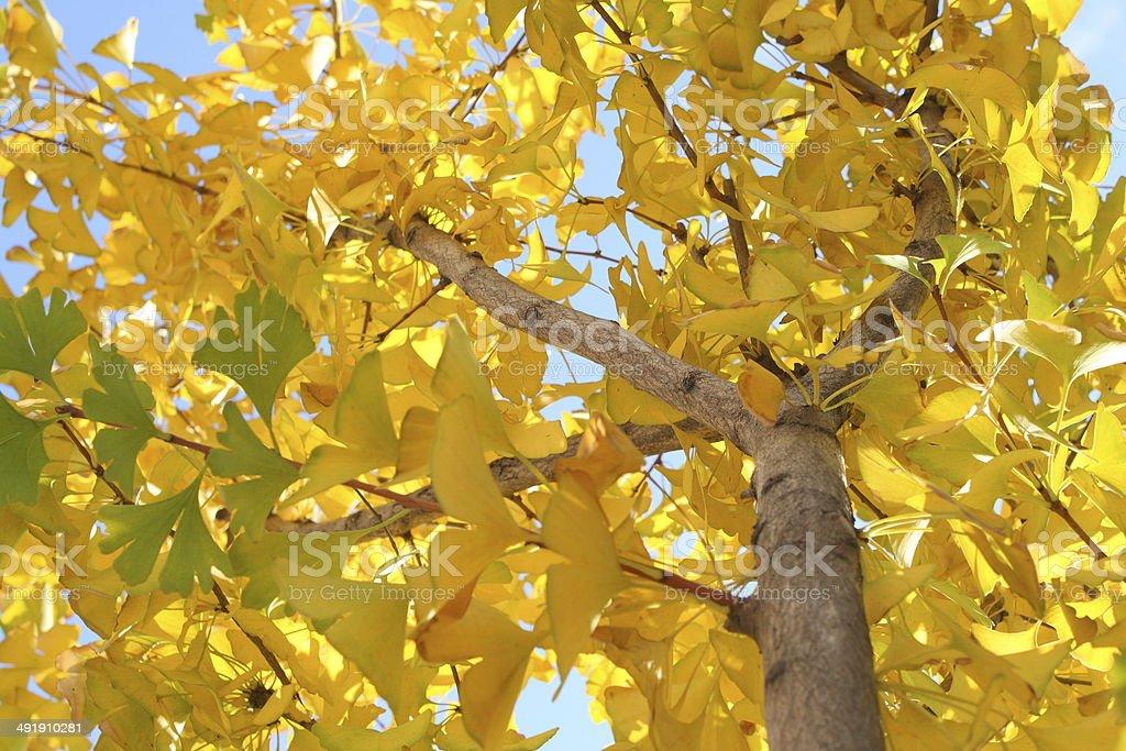 Ginkgo tree stock photo