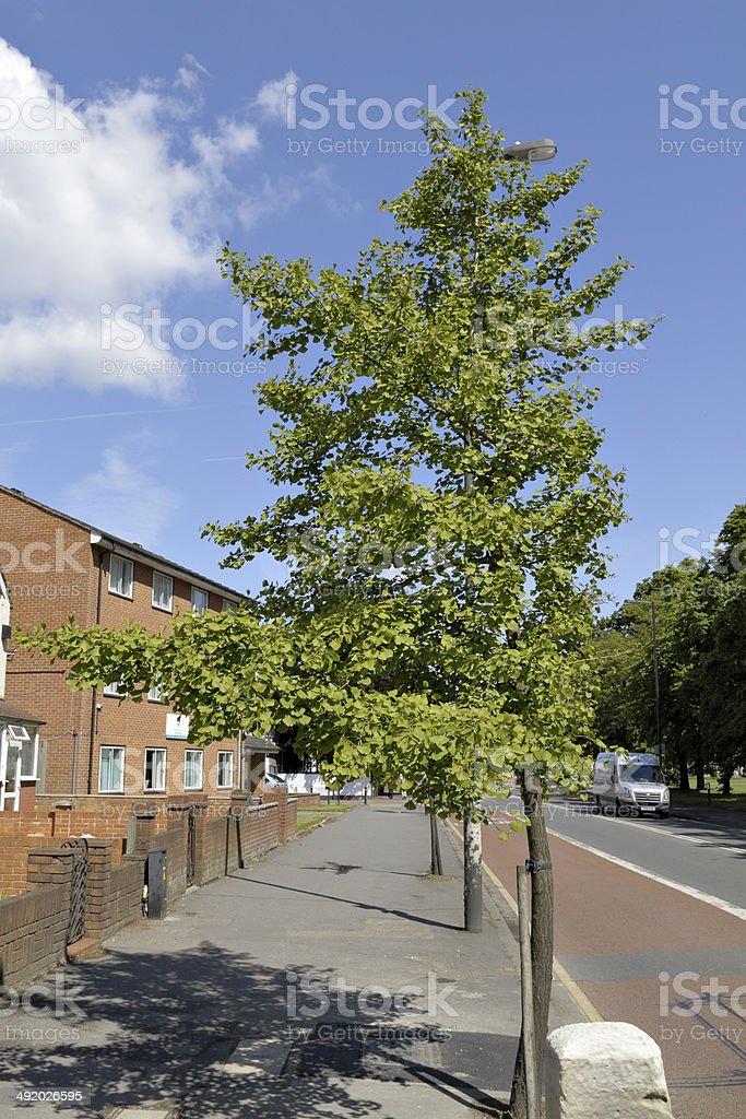 Ginkgo tree suffers surgery by traffic stock photo