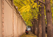 Ginkgo trees outside the wall.