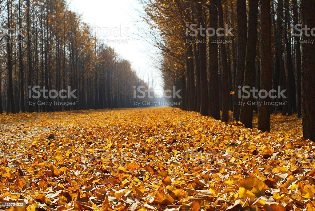 Ginkgo trees royalty-free stock photo
