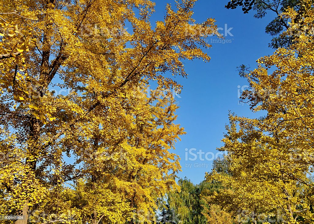ginkgoes in the fall stock photo