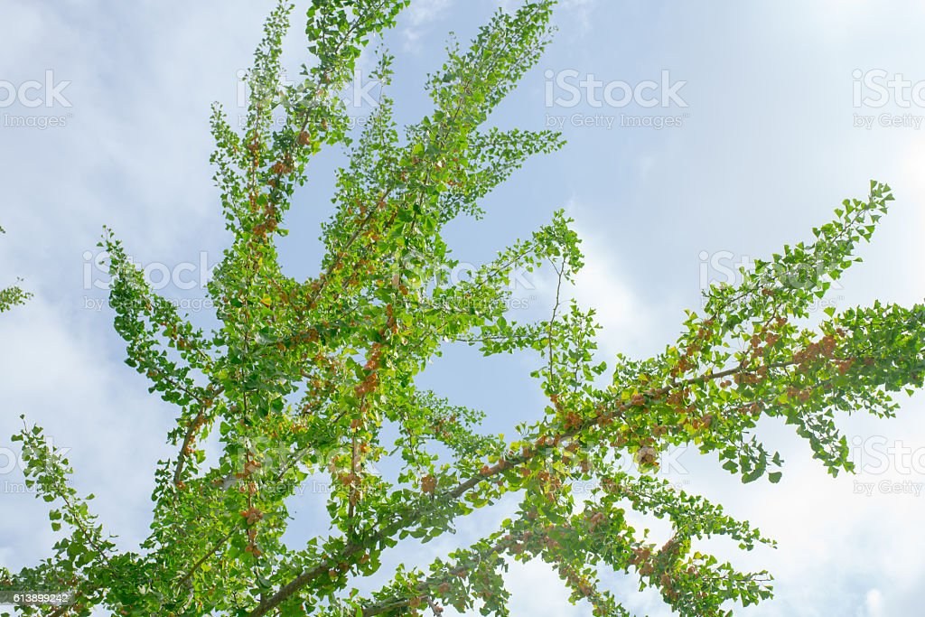 Ginkgoes stock photo