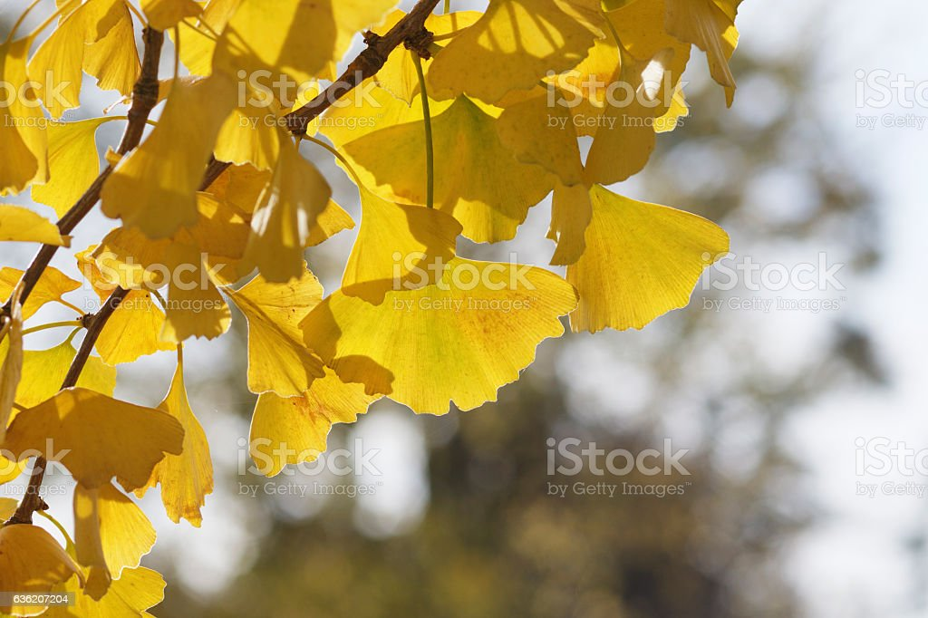 Ginkgo bright yellow leaves dangling in Autumn stock photo