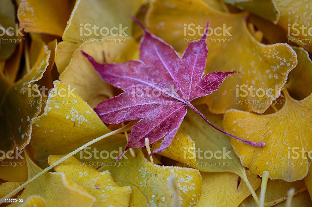 Ginko and maple leaves in frost stock photo