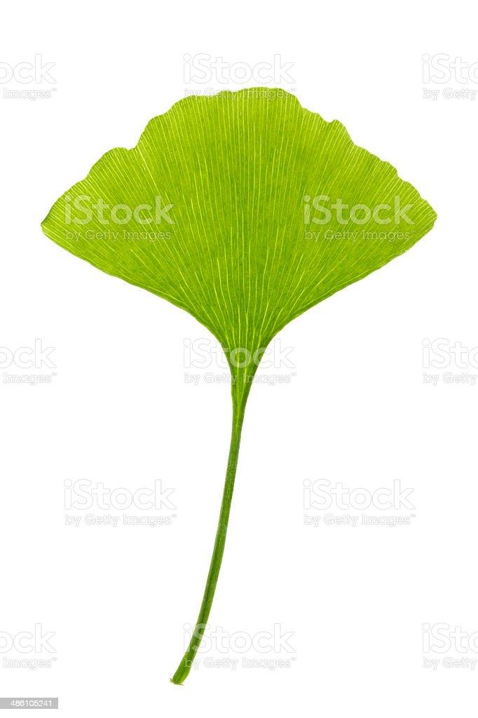 Ginko biloba isolated stock photo