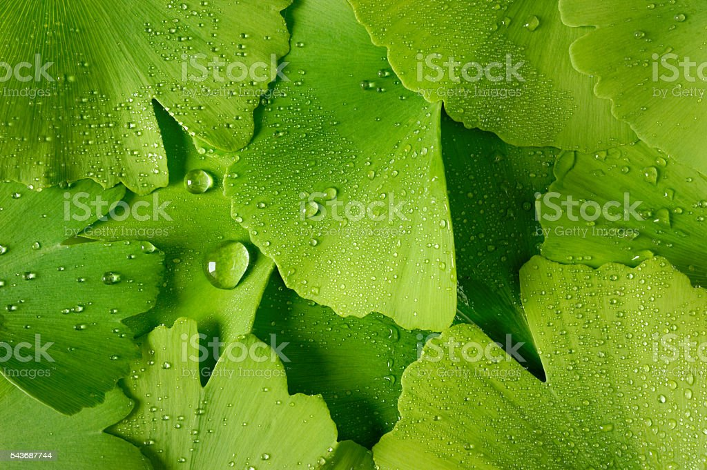 Ginko biloba leaves with water drops stock photo