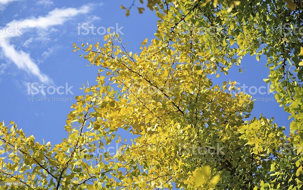 ginko biloba tree royalty-free stock photo