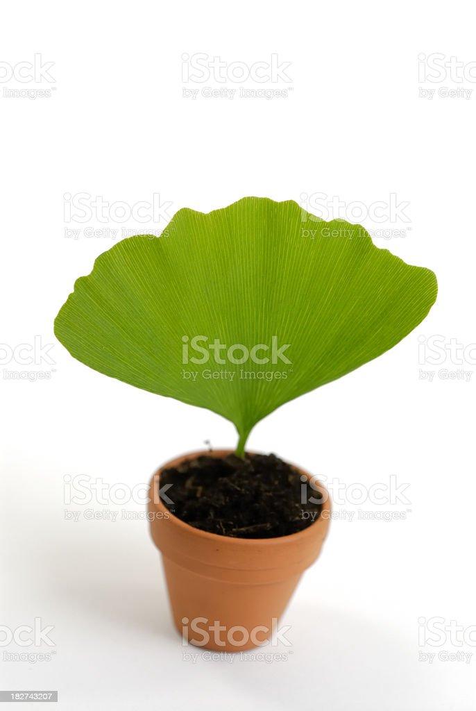Ginko leaf royalty-free stock photo