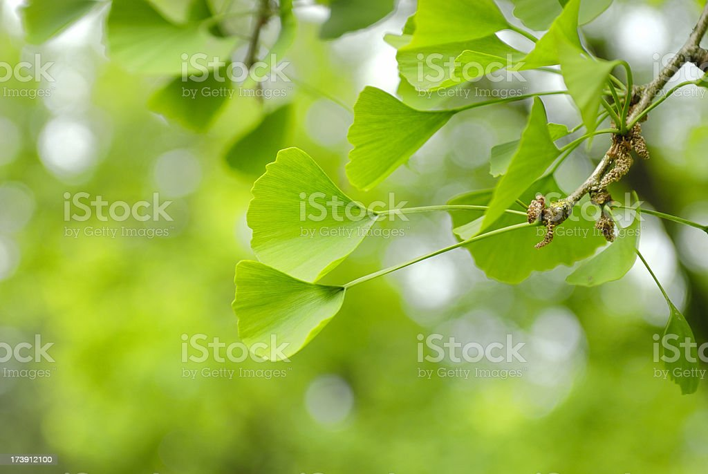 Ginko leaves royalty-free stock photo