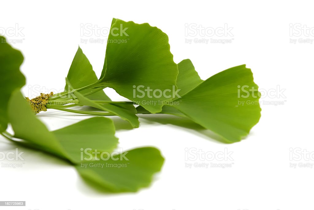 Ginko leaves stock photo