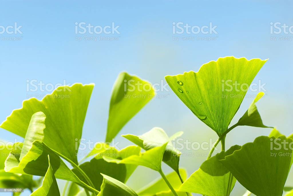 Ginko leaves stock photo