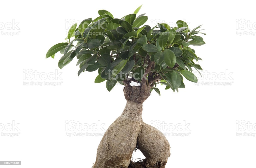 Ginseng bonsai royalty-free stock photo