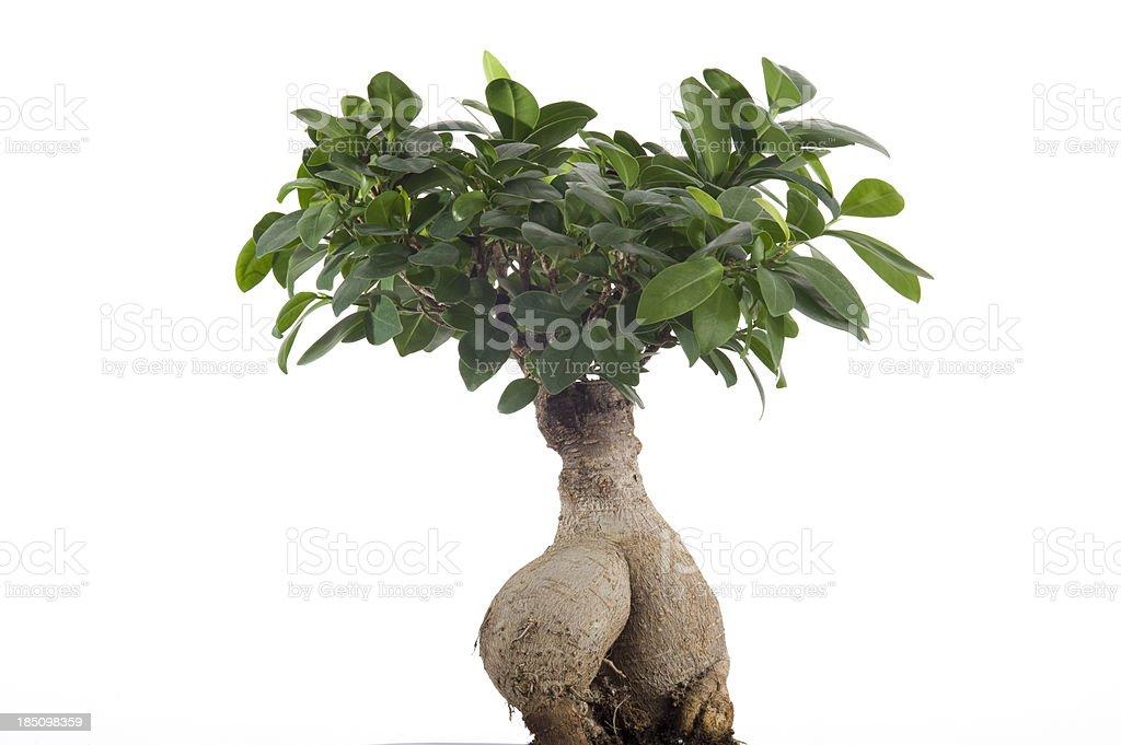 Ginseng bonsai stock photo