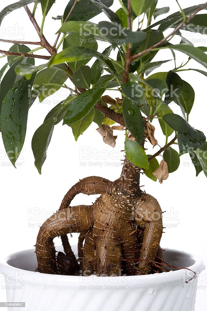 Ginseng Ficus (F. retusa) stock photo