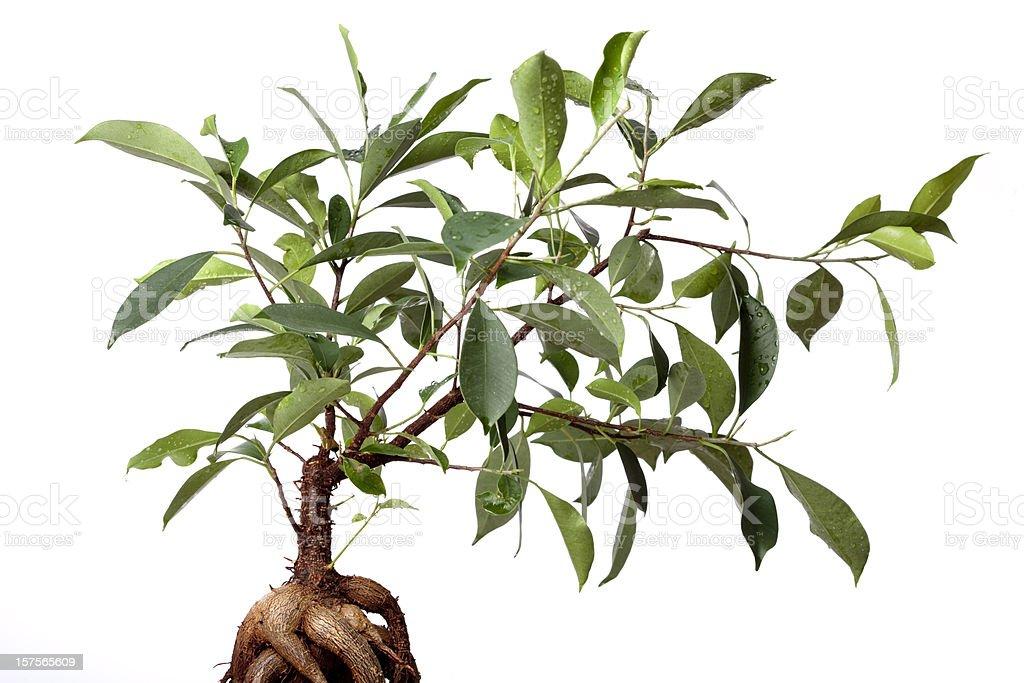 Ginseng Ficus (Ficus retusa) royalty-free stock photo
