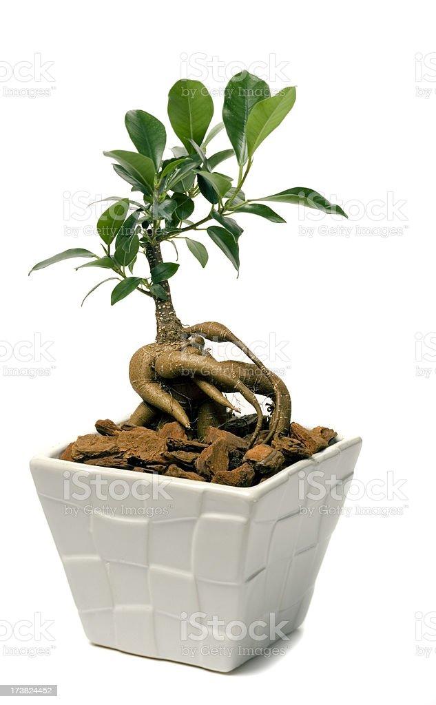Ginseng Ficus (F. retusa) royalty-free stock photo