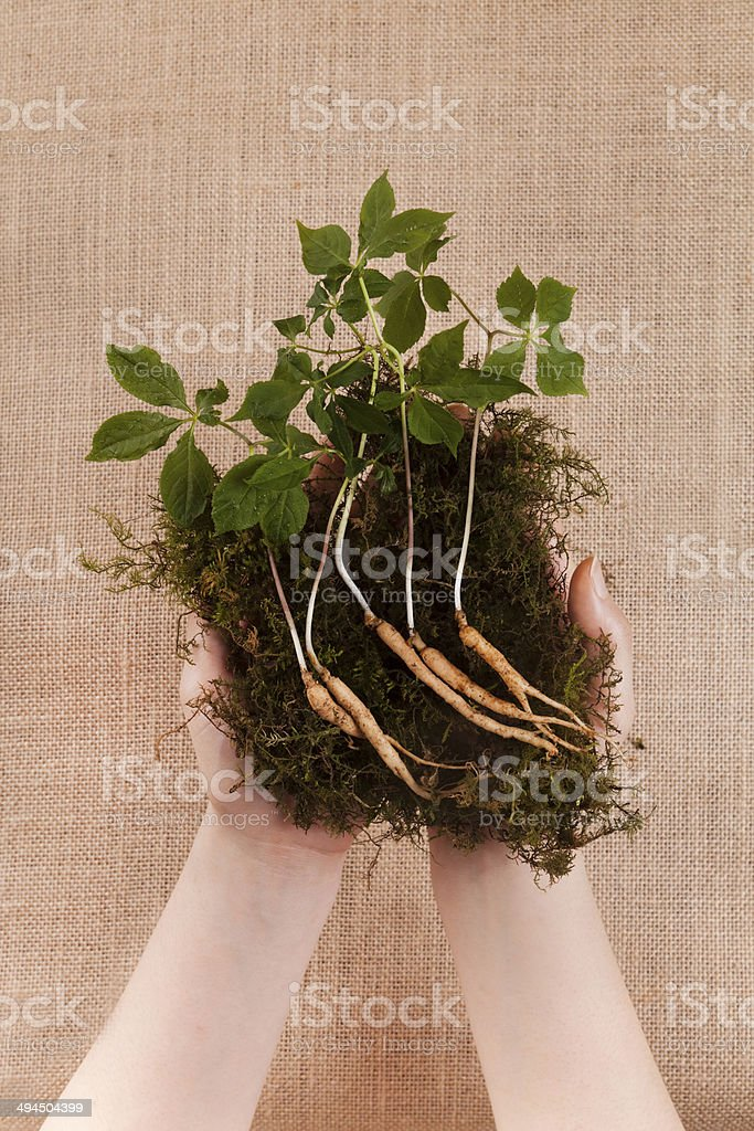 ginseng hands stock photo