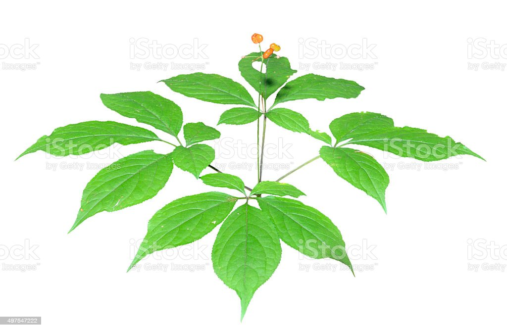 Ginseng (Panax ginseng) stock photo