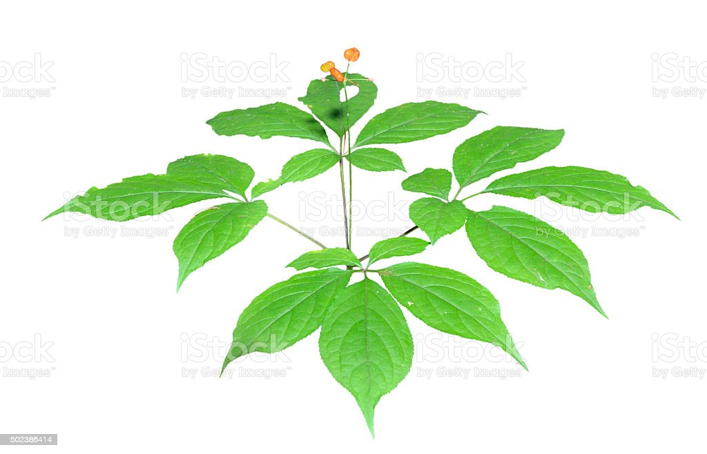 Ginseng (Panax ginseng) stock photo