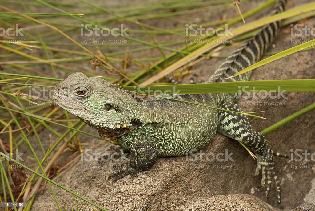 Gipsland Water Dragon (Physignathus lesueurii howittii) royalty-free stock photo