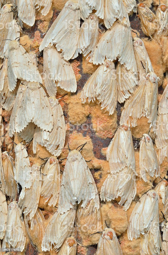 Gipsy moths stock photo