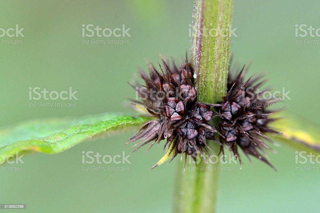 Gipsywort (Lycopus europaeus) stock photo