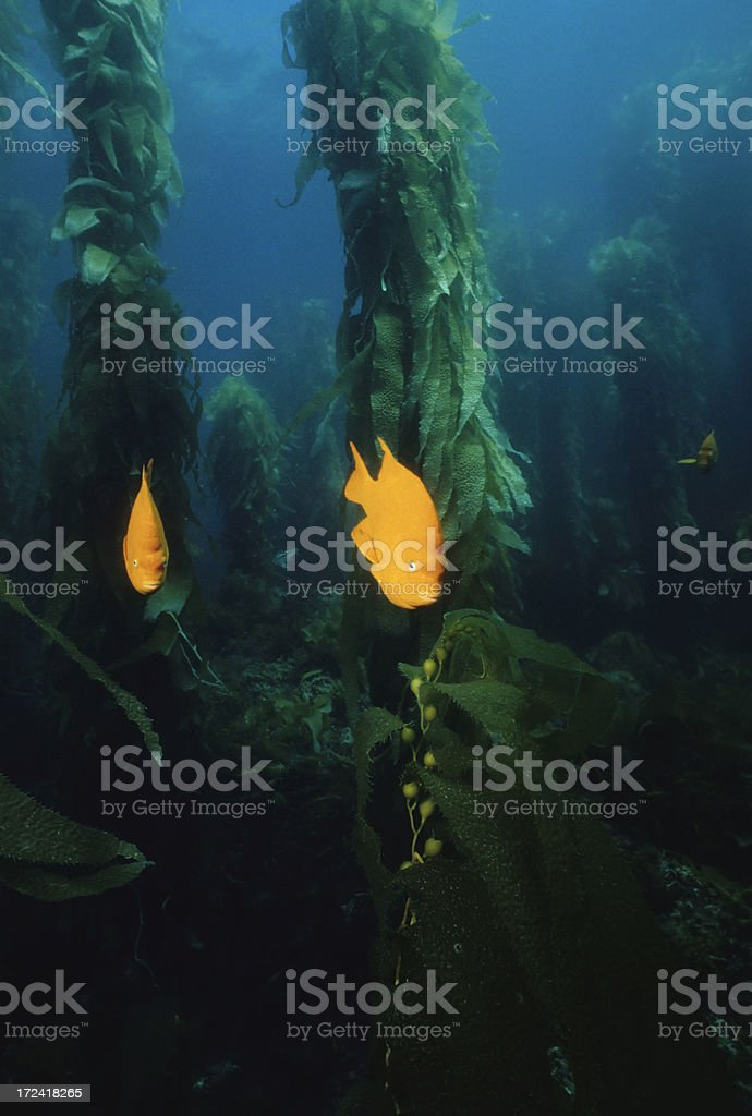 Girabaldis In Kelp Forest stock photo