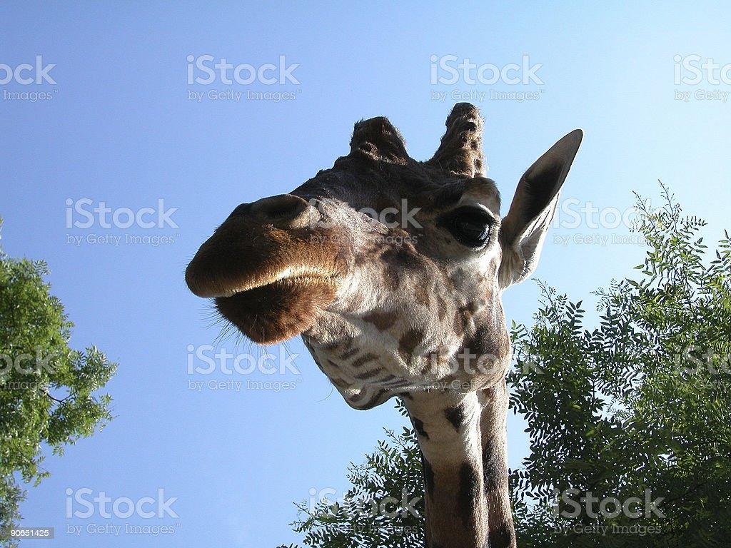 Giraffe 02 royalty-free stock photo