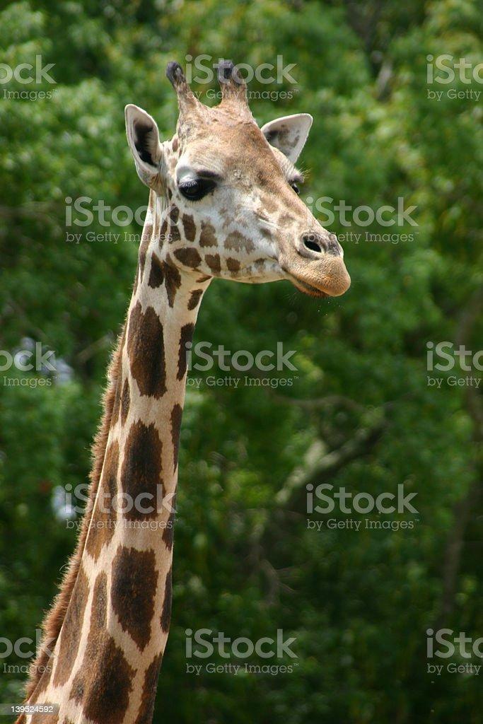 Giraffe 2 royalty-free stock photo