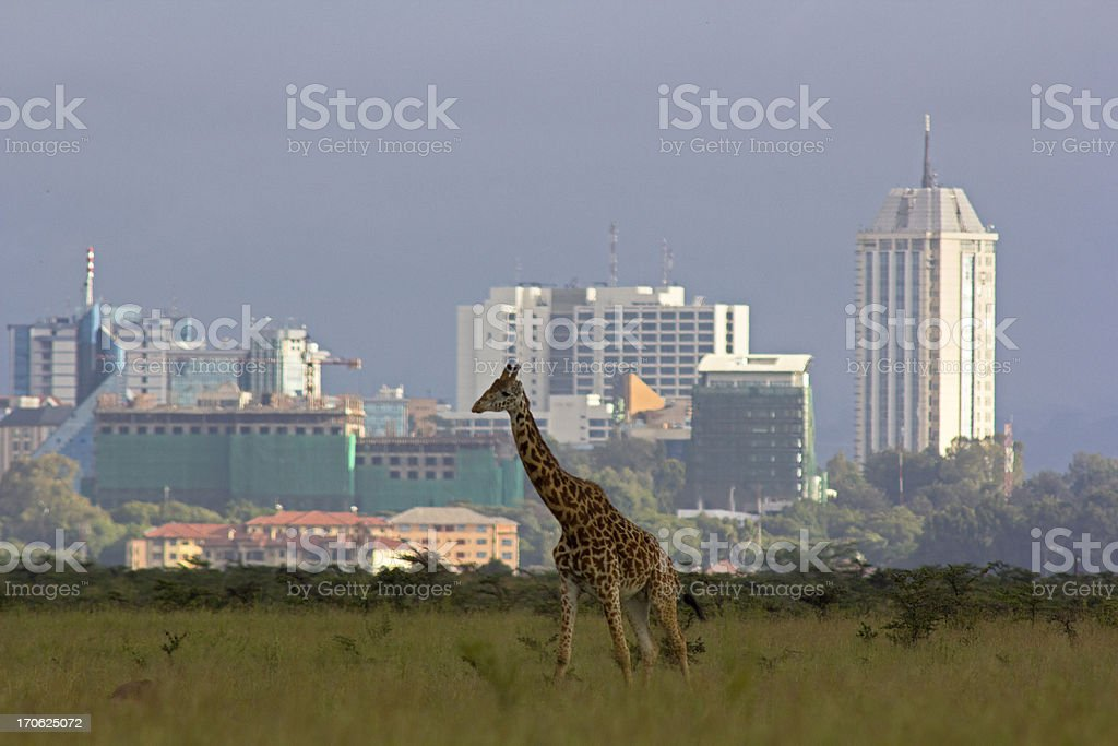 Giraffe against city skyline stock photo