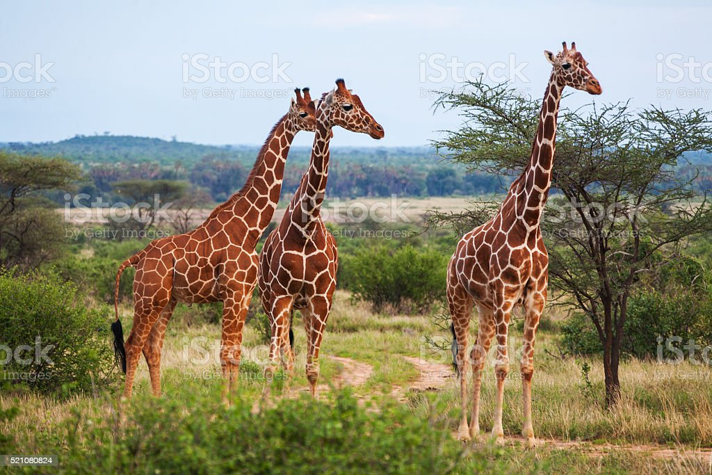 Giraffe among savanna in Africa stock photo