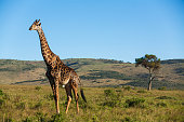 Giraffe among savanna in Africa