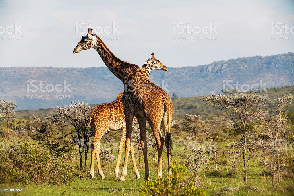 Giraffe among savanna in Africa stock photo