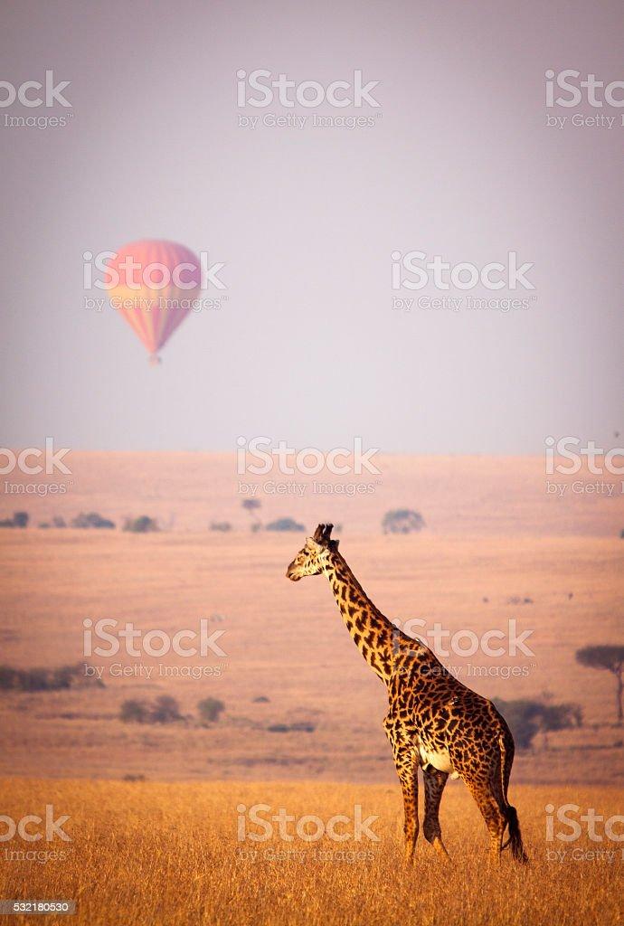 Giraffe and balloon stock photo