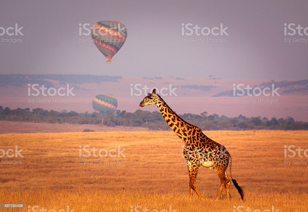 Giraffe and balloon stock photo